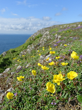 Common rock-rose (Helianthemum nummularium) and Wild thyme (Thymus polytrichus) on limestone cliff top. Rhossili, The Gower, Glamorgan, Wales, UK. July 2020.