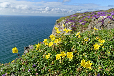 Common rock-rose (Helianthemum nummularium) and Wild thyme (Thymus polytrichus) clumps on limestone cliff top. Rhossili, The Gower, Glamorgan, Wales, UK. July 2020.