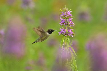 Black-chinned hummingbird (Archilochus alexandri) male nectaring on Lemon beebalm (Monarda citriodora). Hill Country, Texas, USA.