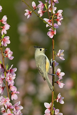 Black-crested titmouse (Baeolophus atricristatus) perched on blossoming Peach (Prunus persica) tree branch. Hill Country, Texas, USA.