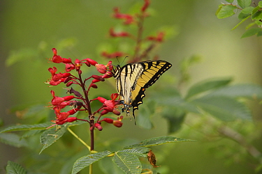 Eastern tiger swallowtail butterfly (Papilio glaucus) nectaring on Red buckeye (Aesculus pavia). Palmetto State Park, Texas, USA.