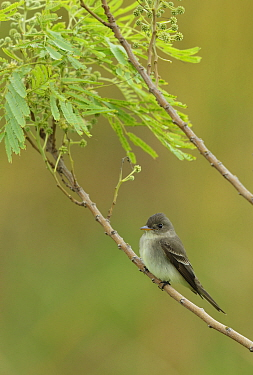 Eastern wood-pewee (Contopus virens) perched on branch. South Padre Island, Texas, USA.