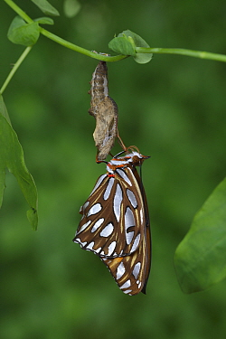 Gulf fritillary butterfly (Agraulis vanillae) emerging from chrysalis. Hill Country, Texas, USA. Sequence 9/10.