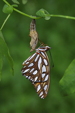Gulf fritillary butterfly (Agraulis vanillae) emerging from chrysalis. Hill Country, Texas, USA. Sequence 10/10.