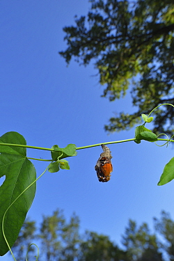Gulf fritillary butterfly (Agraulis vanillae) emerging from chrysalis. Hill Country, Texas, USA.