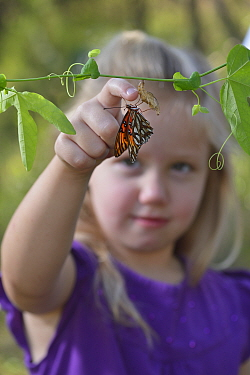 Gulf fritillary butterfly (Agraulis vanillae) on Passion vine (Passiflora sp), girl attempting to hold the butterfly by moving it on to her finger. Hill Country, Texas, USA. 2013. Model released.