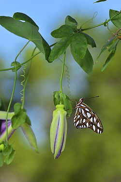Gulf fritillary butterfly (Agraulis vanillae) resting on Passion vine (Passiflora sp). Hill Country, Texas, USA.