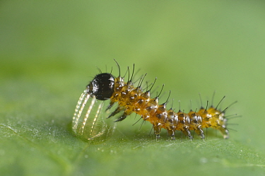 Gulf fritillary butterfly (Agraulis vanillae), newly hatched caterpillar feeding on egg case. Hill Country, Texas, USA.