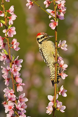 Ladder-backed woodpecker (Picoides scalaris) male perched amongst Peach (Prunus persica) blossom. Hill Country, Texas, USA.