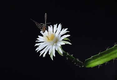 Sphinx moth (Sphingidae) nectaring on Night-blooming cereus (Acanthocereus tetragonus) at night. Hill Country, Texas, USA.