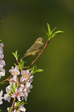 Orange-crowned warbler (Vermivora celata) perched in blossoming Peach (Prunus persica) tree. Hill Country, Texas, USA.
