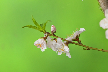 Peach (Prunus persica) blossom, buds and young leaves. Hill Country, Texas, USA.