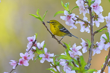 Pine warbler (Dendroica pinus) male perched in blossoming Peach (Prunus persica) tree. Hill Country, Texas, USA.