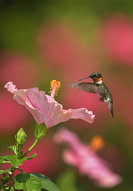 Ruby-throated hummingbird (Archilochus colubris) male flying towards Hibiscus (Hibiscus sp) flower before nectaring. Hill Country, Texas, USA.