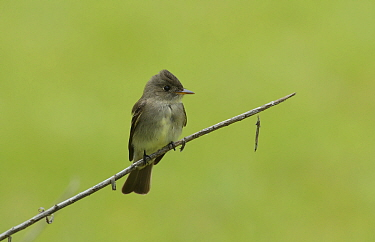 Western wood-pewee (Contopus sordidulus) perched on branch. South Padre Island, Texas, USA.