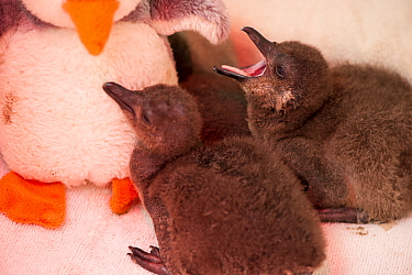 African penguin (Spheniscus demersus) chicks in brooder box with infra red heat lamp and penguin soft toy, part of Chick Bolstering Project, Southern African Foundation for the Conservation of Coastal...