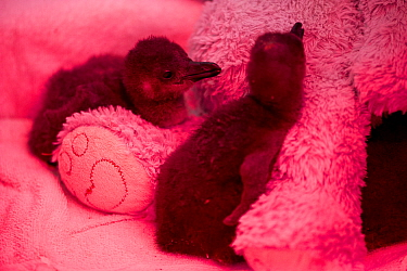 African penguin (Spheniscus demersus) chicks in brooder box with infra red heat lamp and teddy bear, part of Chick Bolstering Project, Southern African Foundation for the Conservation of Coastal Birds...