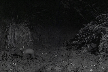 Pine marten (Martes martes) at night, taken with infra-red remote camera trap, France, August.