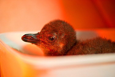 African penguin (Spheniscus demersus) chick in brooder box under infra-red heat lamp, part of Chick Bolstering Project, Southern African Foundation for the Conservation of Coastal Birds (SANCCOB), Sou...