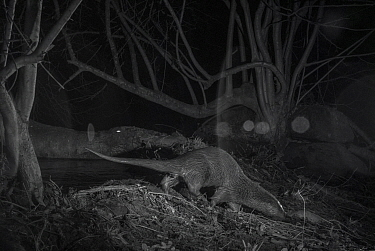 Otter (Lutra lutra) on river bank at night, taken with infra red remote camera trap, Mayenne, Pays de la Loire, France, February.