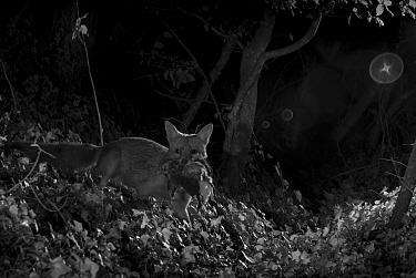 Red fox (Vulpes vulpes) with dead feral kitten prey, taken at night with infra red remote camera trap, Mayenne, Pays de Loire, France, July.