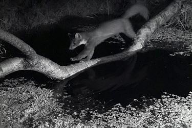 Pine marten (Martes martes) walking across branch over garden pond, taken at night with infra-red remote camera trap, France, June.