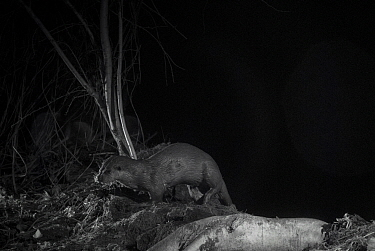 Otter (Lutra lutra) on river bank at night, taken with infra red remote camera trap, Mayenne, Pays de Loire, France, January.