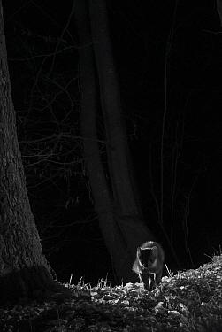 Stone marten (Martes foina) taken at night with infra red remote camera trap, France. December.