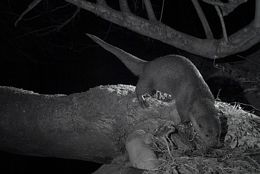Otter (Lutra lutra) on river bank, taken at night with infra red remote camera trap, Mayenne, Pays de Loire, France, December.