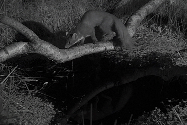 Pine marten (Martes martes) in garden, crossing branch over pond, taken at night with infra red remote camera trap, Mayenne, Pays de Loire, France, July.