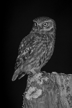 Little owl (Athene noctua) on post in garden, taken at night with infra red remote camera trap, Mayenne, Pays de Loire, France, March.