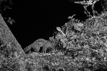 European genet (Genetta genetta) taken at night with infra red remote camera trap, Ariege, France, May.