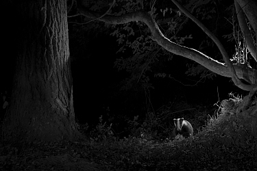 Badger (Meles meles) in garden, taken at night with infra red remote camera trap, Mayenne, Pays de Loire, France, August.