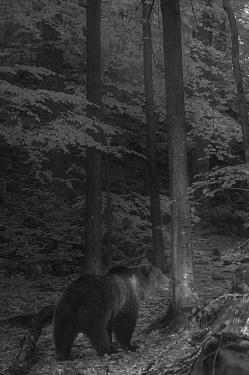 European brown bear (Ursus arctos arctos) walking through forest at night, taken with infra red remote camera trap, Slovenia, October.