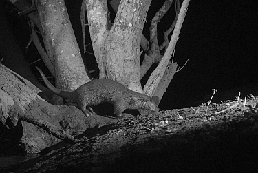 Otter (Lutra lutra) on river bank, taken at night with infra red remote camera trap, Mayenne, Pays de Loire, France, March.