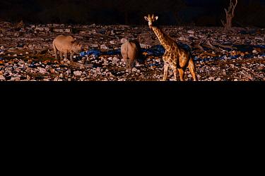 Black rhino (Diceros bicornis) and Angolan Giraffe (Giraffa camelopardalis angolensis) at watering hole at night, taken with infra red camera, Okaukuejo pan, Etosha National Park, Namibia.