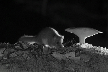Edible dormouse (Glis glis) and mushroom at night taken with infra red remote camera trap, Slovenia, October.