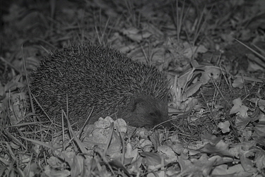 Hedgehog (Erinaceus europaeus) at night, taken with infra red remote camera trap, Mayenne, Pays de Loire, France, April.