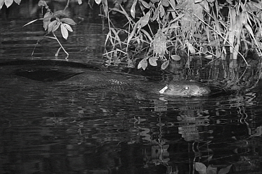 Eurasian beaver (Castor fiber) adult female with ear tag, swimming on the River Otter at night, near where it was released by the Devon Wildlife Trust, Devon, UK, August 2015. Photoraphed by infra red...