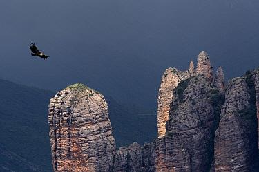 Griffon vulture (Gyps fulvus) soaring over Los Mallos de Riglos, Huesca province, Aragon, Spain.