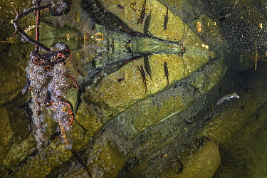 Savi's spectacled salamanders (Salamandrina perspicillata) depositing their eggs on underwater rocks and stems in a shallow stream pool, Northern Apennines, May.