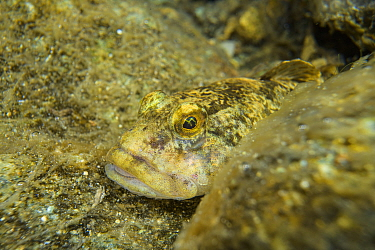 Bullhead (Cottus gobio) adult fish underwater in small alpine stream, Italy, July.