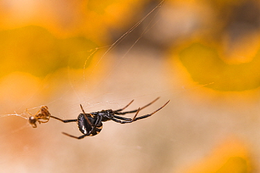 Mediterranean black widow spider (Latrodectus tredecimguttatus), young female specimen hanging from its web, Tolfa, Rome, Italy, June.