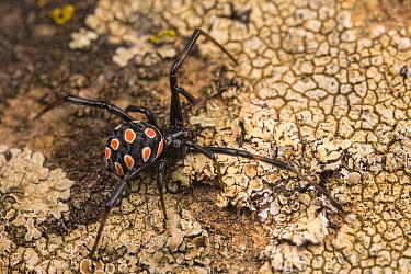 Mediterranean black widow spider (Latrodectus tredecimguttatus) young specimen attached to a rock close to its web, Tolfa, Rome, Italy, June.