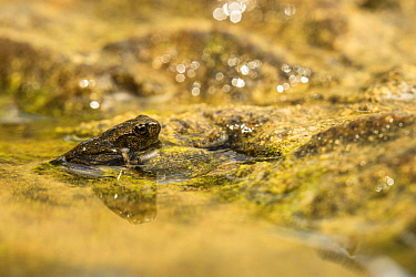 Common toad (Bufo bufo) toadlet, Luni, Viterbo, Italy