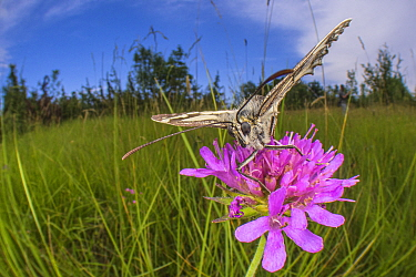Marbled white butterfly (Melanargia galathea) wide angle view, Italy, June.