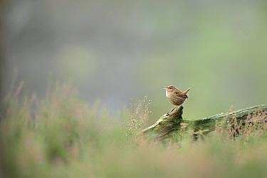 Wren (Troglodytes troglodytes) singing from log amongst heather, Scotland, UK.