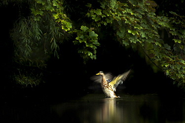 Mallard (Anas platyrhynchos) shaking its wings, Martin Mere WWT Reserve, Lancashire, England, UK