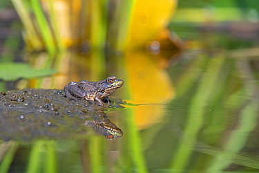 Green frog (Lithobates clamitans) at pond. Acadia National Park, Maine, USA. August.