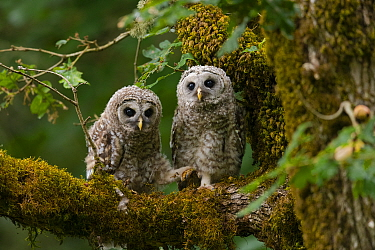 Barred Owl (Strix varia) fledglings. Washington County, Oregon, USA. June.